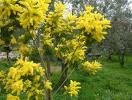 il fiore di mimosa
